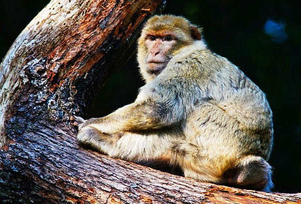 Barbary Ape Landscapes Ape Nature Animals Faunae M
