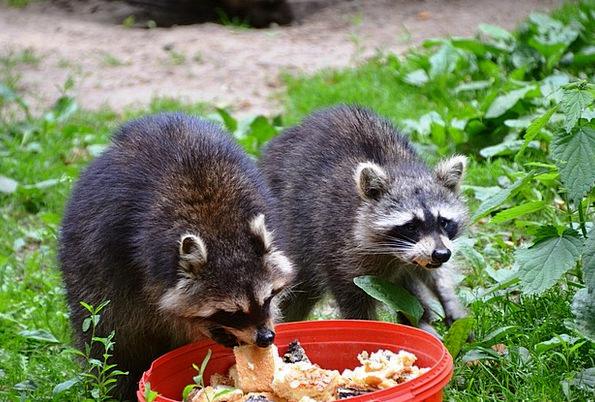 Raccoon Drink Food Eco-Park Güstrow Food Nourishme