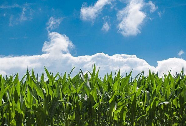 Corn Field Landscapes Nature Countryside Scenery B