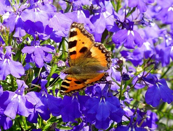 Little Fox Lobelia Butterfly Purple Elaborate Flow