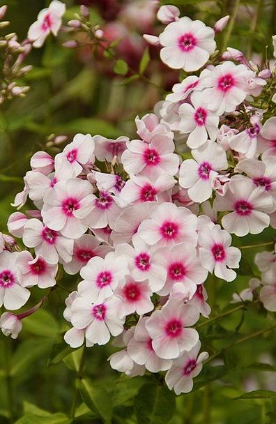 Phlox Landscapes Flushed Nature Beautiful Lovely Pink Flower