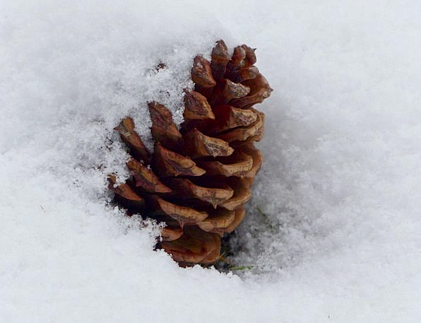 Pine Cone Landscapes Countryside Nature Tree Sapli