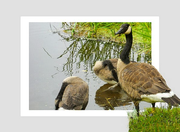 Geese Pool Poultry Fowl Pond Plumage Birds Natures