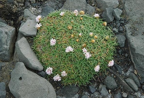 Iceland Landscapes Floret Nature Volcano Flower Fo