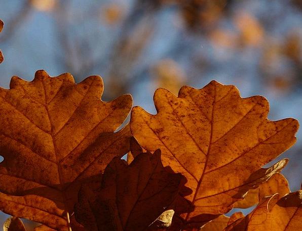 Oak Leaves Landscapes Nature Quercus Oak Forest Se
