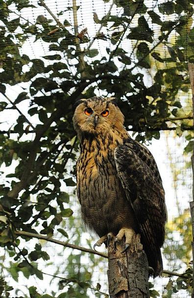 Owl Zoo Menagerie Eurasian Eagle Owl Night Active