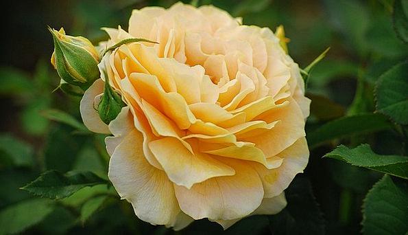 Rose Design Excellent Yellow Creamy Golden Texture