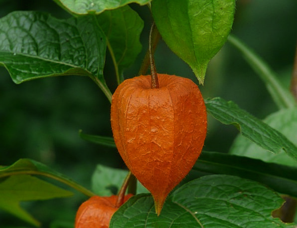 Lampionblume Ornamental Plant Physalis Alkekengi P