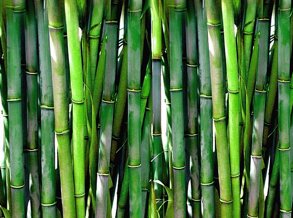 Bamboo Cane Landscapes Woodland Nature Green Lime