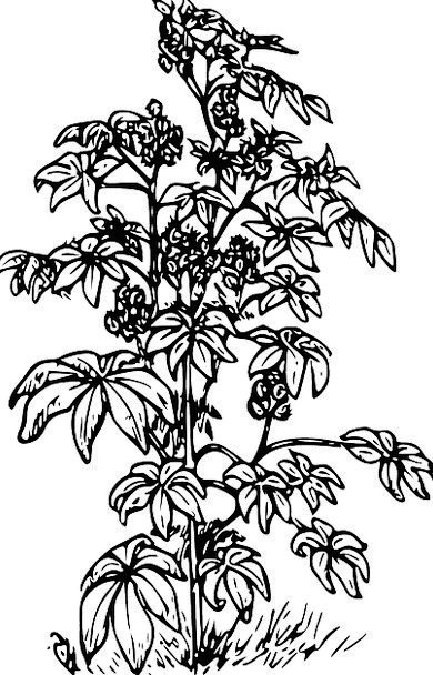 Castor Lubricant Plants Florae Oil Medicine Herbal