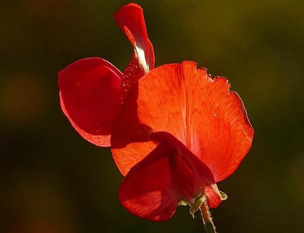 Vetch Fabaceae Vicia Color Faboideae Flora Legume