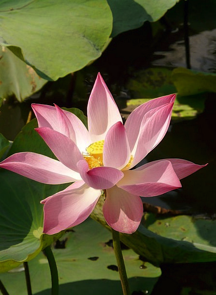 Lotus Landscapes Nature Flower Floret Lotus Blosso