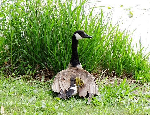 Gosling Chicks Chickens Goose Mother Ma Nature Pro