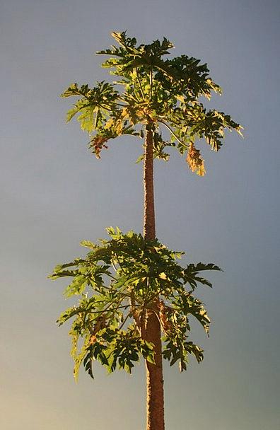 Pawpaw Landscapes Hot Nature Subtropical Tropical