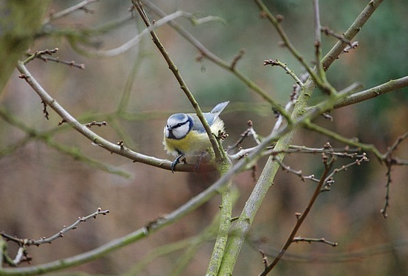 Tit Fowl Blue Tit Bird Nature Countryside