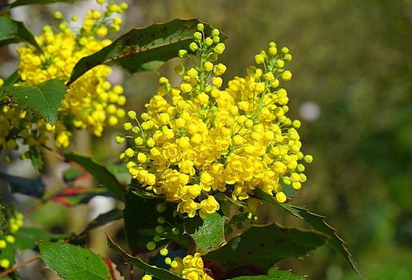 Ordinary Mahogany Flowers Plants Mahogany Aquifoli