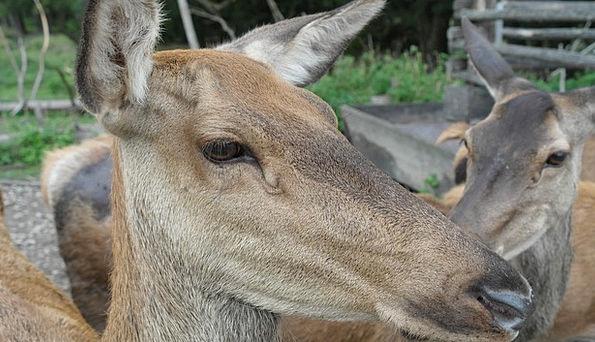 Red Deer Landscapes Herd Nature Hirsch Flock Fores