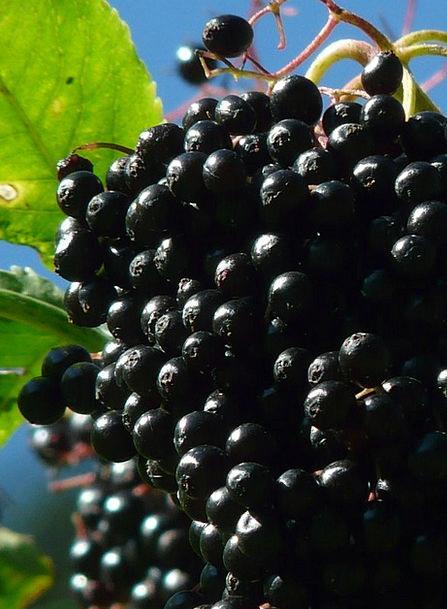 Black Elderberry Drink Food Holder Bush Sambucus N