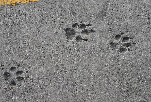 Pavement Roadway Dog Canine Dog Track Track Path C
