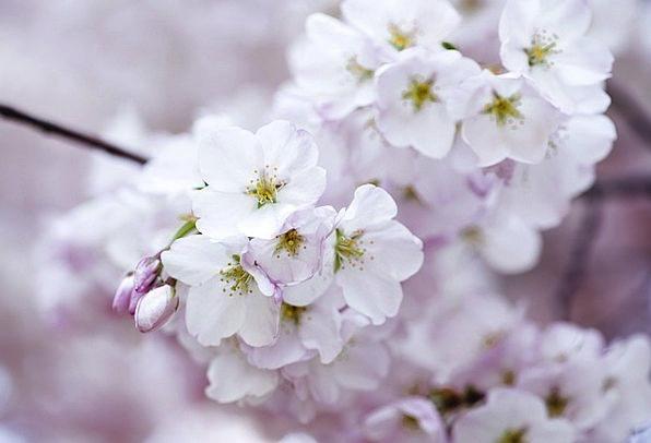 Cherry Blossom Landscapes Floret Nature Blossom Fl