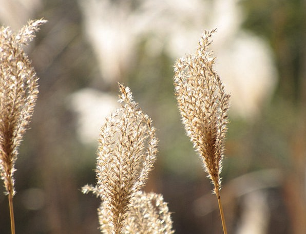 Flowering Peak Flower Floret Miscanthus