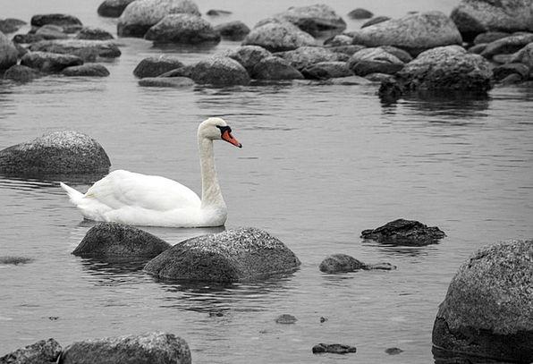 Swan Wander Landscapes Aquatic Nature Stones Grave