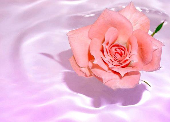 Rosa Floret Water Aquatic Flower Bloom Spouses Wiv