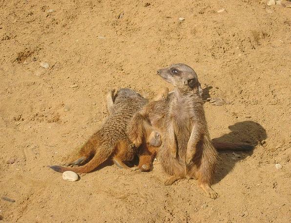 Meerkat Menagerie Animals Faunae Zoo Sand Shingle