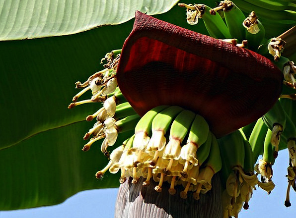 Banana Group Flowers Plants Bunch Blossoms Baby Ba