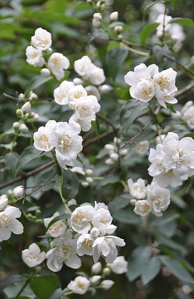 Flower Floret Shrub Bush Jasmine Shrubs Bushes Pla