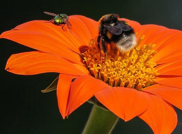 Hummel Landscapes Hover Nature Flower Floret Fly R