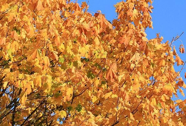 Fall Foliage Autumn Mood Maple Autumn Colours Mapl