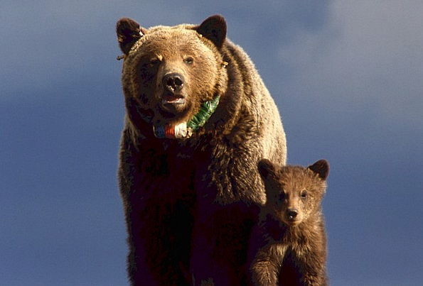 Grizzly Bear Novice Yellowstone Cub Mammal Wildlif