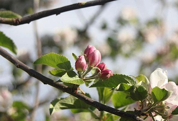 Buds Sprouts Plants Tree Sapling Flowers Leaf Foli