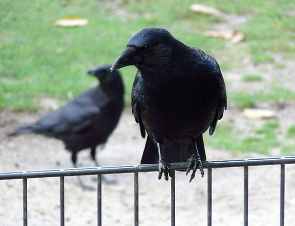 Carrion Crow Crow Caw Corvus Corone Raven Raven Bi