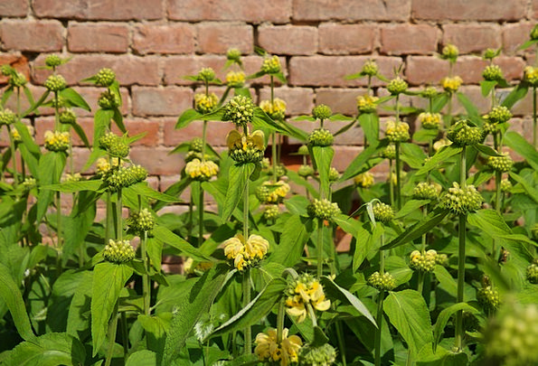 Flowers Plants Creamy Russell Brandkraut Yellow Wh