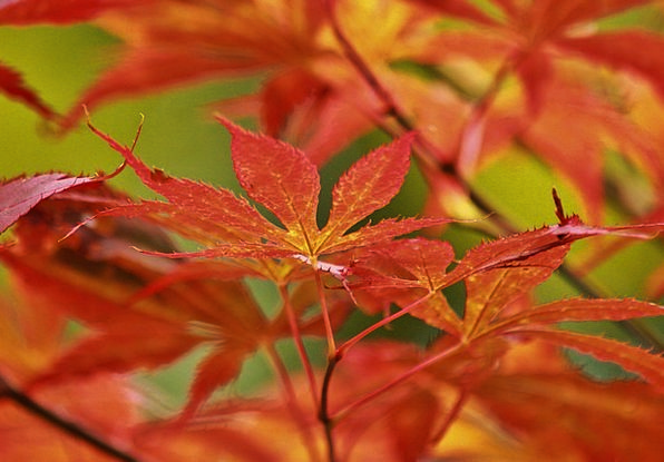 Maple Landscapes Nature Leaves Greeneries Japanese