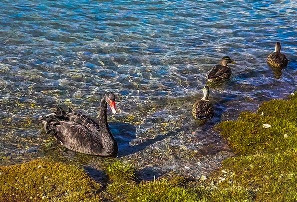 Black Swan Bird Fowl Queenstown Wild New Zealand W
