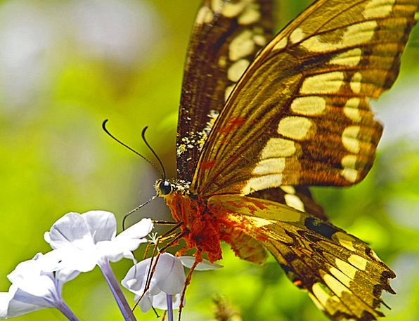 Butterfly Liquid Overloaded Loaded Nectar Summer F