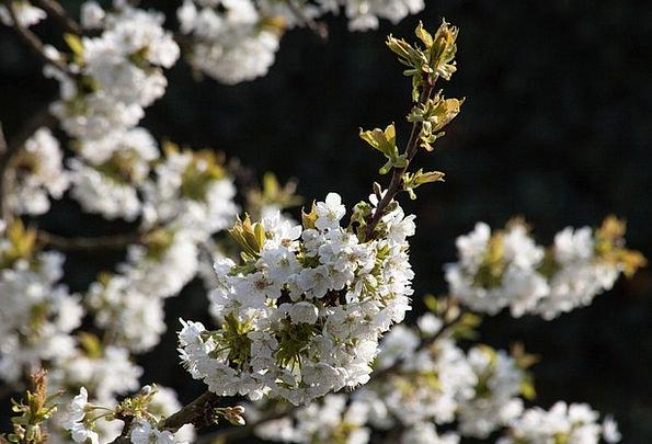 Cherry Blossom Landscapes Nature Prunus Avium Bird