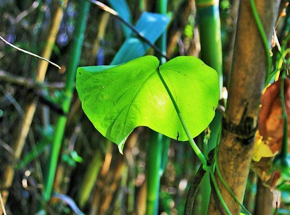 Morning Glory Leaf Foliage Green Leaf Green Lime B