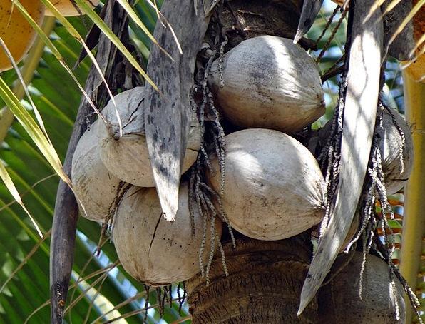 Coconuts Cocos Nucifera Tree-Dried Coconut Tree Co