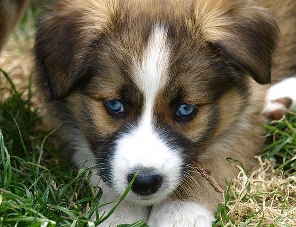 Puppy Brat Hybrid Cross Blue Eye Young Dog Black E