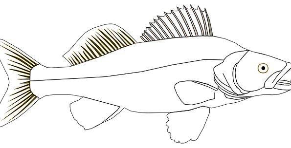 Walleye Drink Angle Food Pike Peak Fish Food Fresh
