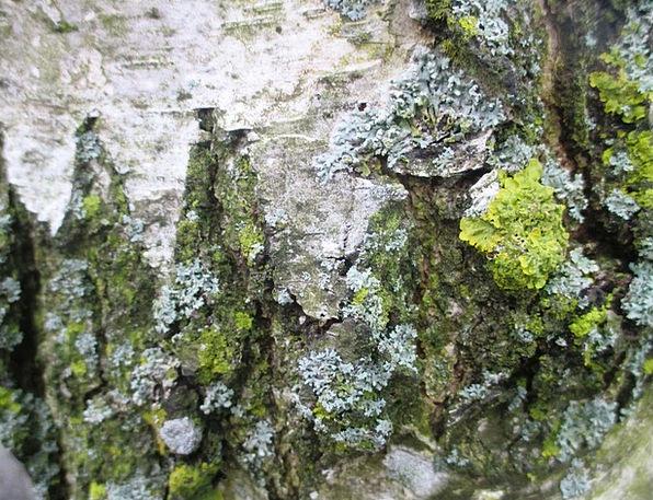 Weave Pile Cane Bark Bay Birch Romanshorn Moss Log