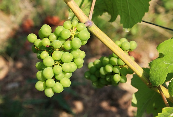 Grapes Landscapes Nature Nature Countryside Green
