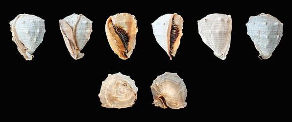 Mollusk Animal Physical Sea Snail Cassis Madagasca