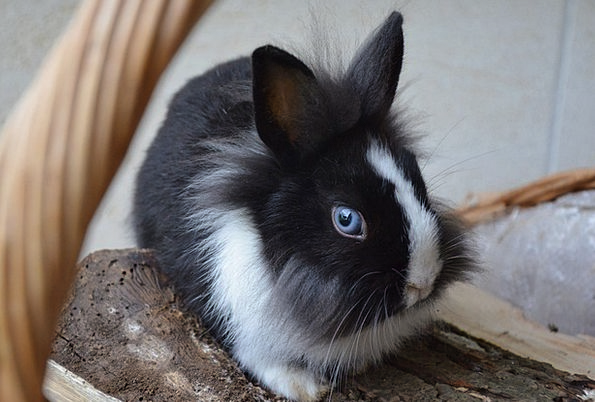 Rabbit Bunny Blue Eyes Dwarf
