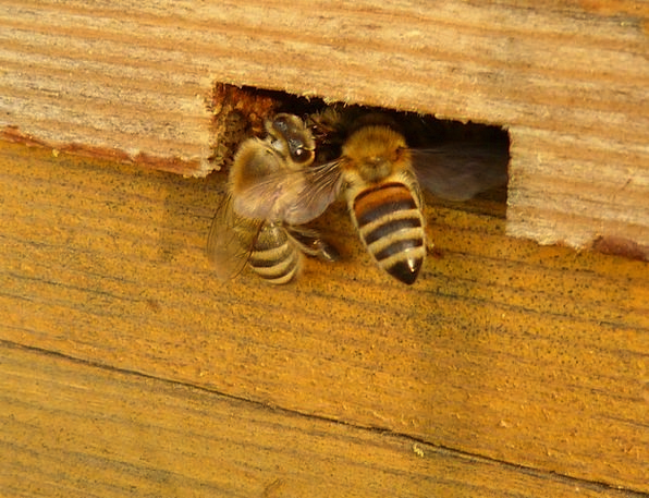 Insect Bug Apis Mellifera Bees Beehive Apiary Anim