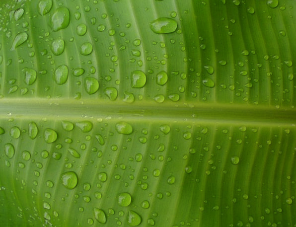 Banana Droplets Water Aquatic Drops Green Lime Lea